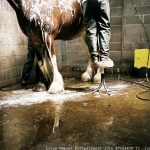 Clydesdale horse being bathed From the series Horse Power